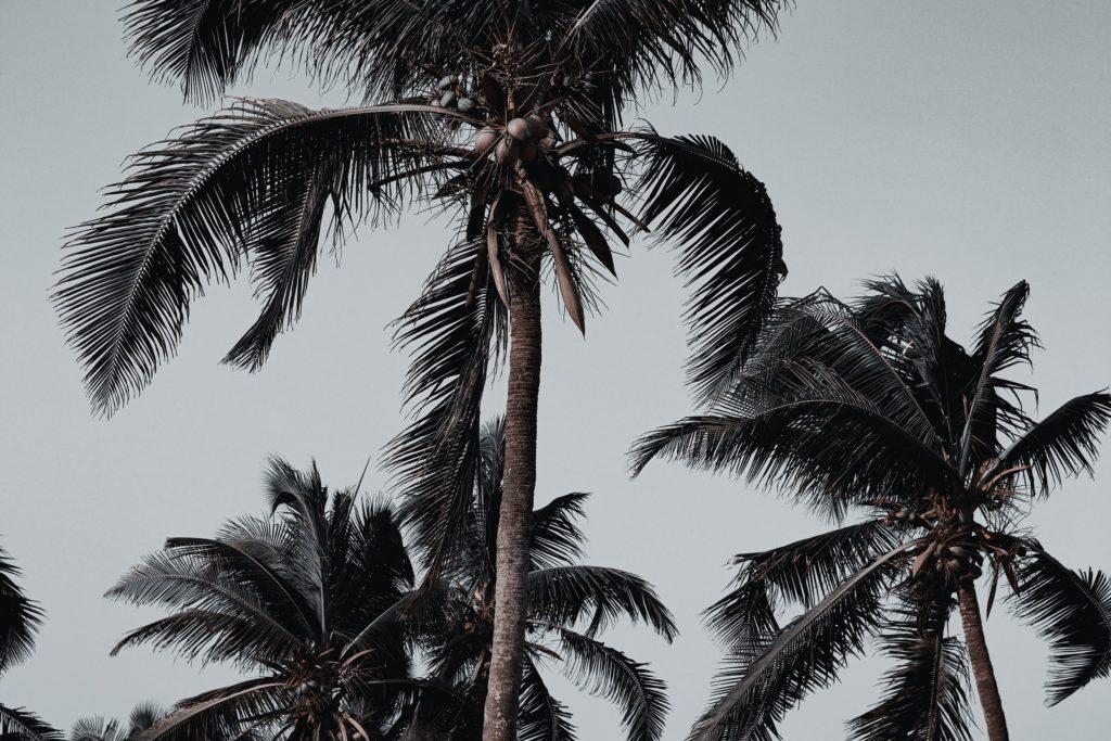 Palmiers dans le ciel du Togo en Afrique