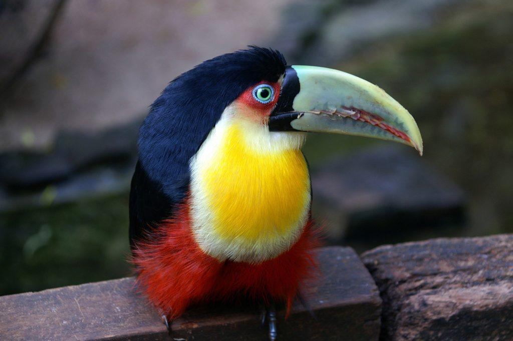 Un toucan au Brésil