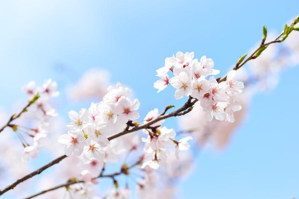 Les fleurs de Sakura (cerisier) qui fleurissent au printemps, la période du Hanami