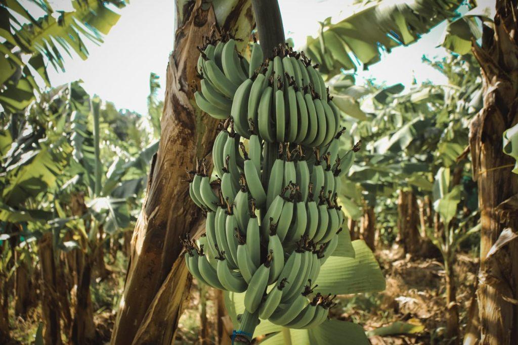 Un régime de bananes en Martinique