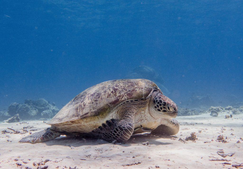 Une tortue se repose dans les fonds marins des îles Gili