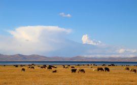 Une plaine du Kirghizistan entretenue par des vaches et des moutons